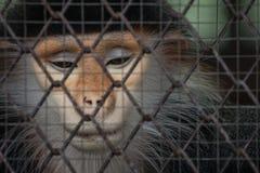 Affe hinter dem Käfig Stockfoto