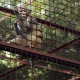Affe hinter den Stangen Stockfoto