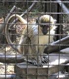 Affe hinter Zaun Stockfoto