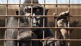 Affe hinter Zoostangen Stockfoto