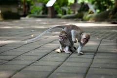 Affe im Affen Forest Sanctuary, Ubud, Bali Lizenzfreies Stockbild