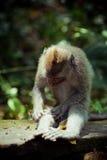 Affe im Affewald, Indonesien Stockfotografie