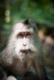 Affe im Affewald, Indonesien Lizenzfreie Stockfotografie