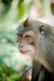 Affe im Affewald, Indonesien Lizenzfreie Stockfotos
