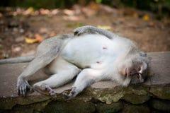 Affe im Affewald, Indonesien Stockfoto