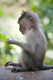 Affe im Affewald, Indonesien Lizenzfreie Stockbilder
