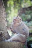 Affe im Affewald, Indonesien Stockbild