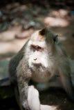 Affe im Affewald, Indonesien Stockbilder