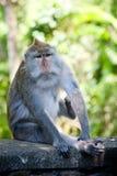 Affe im Affewald, Indonesien Lizenzfreies Stockbild