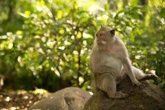 Affe im Affewald Ubud Bali Stockfotografie