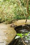 Affe im asiatischen Regenwald Stockfotos