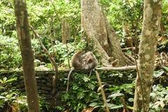 Affe im asiatischen Regenwald Stockfoto