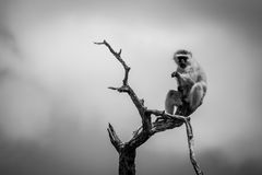 Affe im Baum Stockfotografie