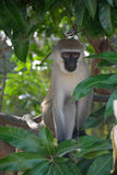 Affe im Baum, Kenia Stockfotografie