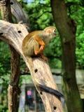 Affe im BRITISCHEN Zoo Lizenzfreie Stockfotografie