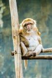 Affe im chiangmai Thailand Stockbilder