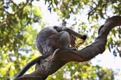Affe im Dschungel goa Indien Lizenzfreie Stockbilder