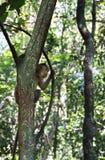 Affe im Dschungel goa Indien Stockbilder