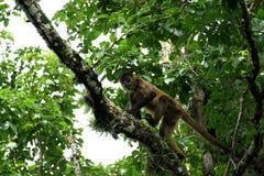 Affe im Dschungel von Costa Rica - Klammeraffe Goffrey Stockbilder