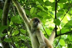 Affe im Dschungel von Costa Rica - Klammeraffe Goffrey Stockfoto