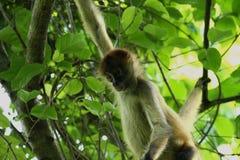 Affe im Dschungel von Costa Rica - Klammeraffe Goffrey Lizenzfreies Stockbild