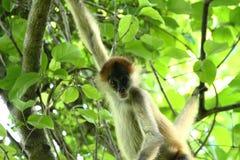 Affe im Dschungel von Costa Rica - Klammeraffe Goffrey Lizenzfreie Stockfotografie