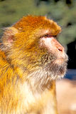 Affe im Faunaabschluß Afrikas Marokko oben Lizenzfreie Stockbilder