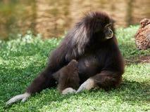 Affe im Freien - gibon Stockbilder