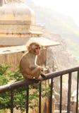 Affe im indischen Tempel Stockfotos