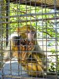 Affe im Käfig am Zoo Lizenzfreies Stockfoto