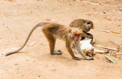 Affe im königlichen Park in Sri Lanka Lizenzfreie Stockfotos