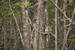 Affe im Mangrovenwald Lizenzfreies Stockbild