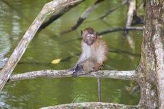 Affe im Mangrovenwald Lizenzfreie Stockfotos