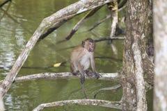 Affe im Mangrovenwald Lizenzfreie Stockfotografie