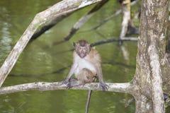 Affe im Mangrovenwald Lizenzfreies Stockfoto