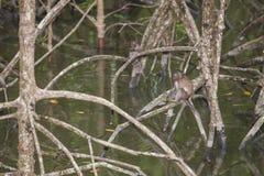 Affe im Mangrovenwald Lizenzfreie Stockbilder