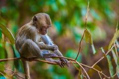 Affe im natürlichen Lebensraum, Thailand Stockfotos