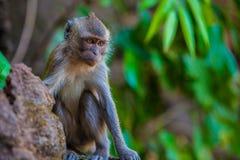 Affe im natürlichen Lebensraum, Thailand Stockbilder