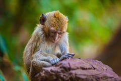 Affe im natürlichen Lebensraum, Thailand Stockfotografie