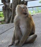 Affe im Nationalpark, Thailand Stockfotografie