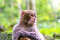 Affe im Naturwald von China Stockfotografie