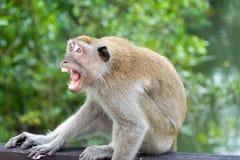 Affe im Park griff einen Mann an, der versucht, Materialien zu ergreifen Stockbilder