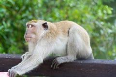 Affe im Park griff einen Mann an, der versucht, Materialien zu ergreifen Stockfoto