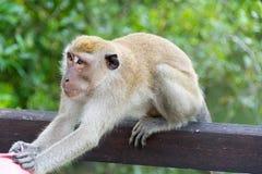 Affe im Park griff einen Mann an, der versucht, Materialien zu ergreifen Stockfotos