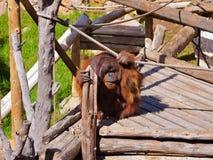 Affe im Park an Teneriffa-Kanarienvogel Lizenzfreies Stockbild