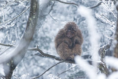 Affe im Schnee Stockfoto