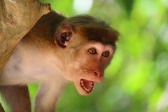 Affe im Schock Lizenzfreie Stockbilder