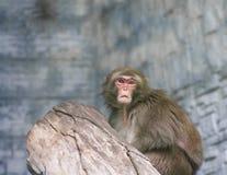 Affe im Stadtzoo Lizenzfreie Stockfotografie