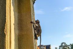 Affe im Tempel Stockbild