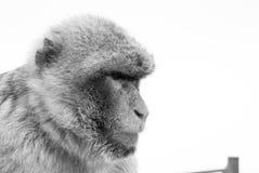 Affe im tiefen Gedanken in Schwarzweiss Stockbilder
